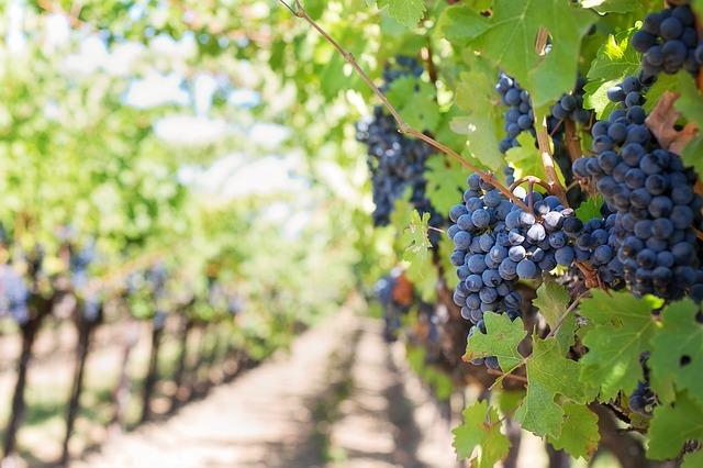 Cosecha 2019: en el Valle de Uco piden precios mínimos para la uva