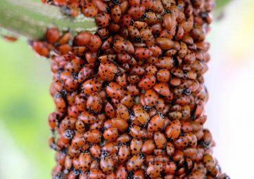 Estos insectos ayudan a controlar plagas de las plantas. La capacitación será el próximo 7 de junio en Tunuyán.
